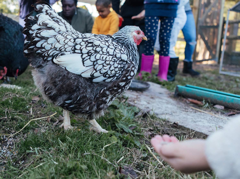 ChickenFeeding